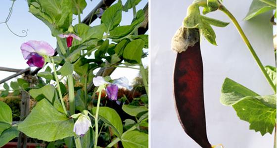 The Garden: Blauwschokkers Peas