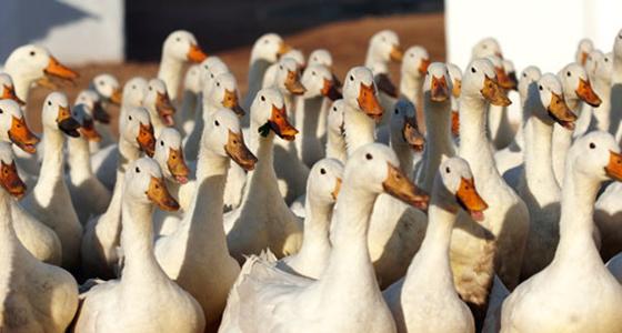 Our Herd of Ducks