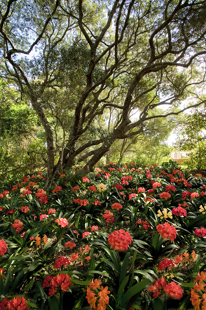 Clivias beneath a tree