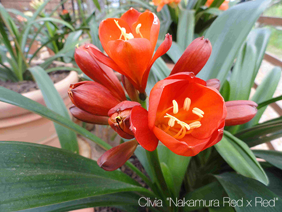 clivia Nakamura Red x Red 153 copy