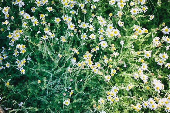 Chamomile Lawn At Babylonn In Flower