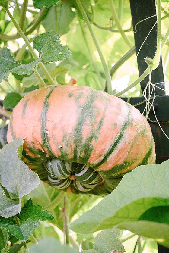 Babylonstoren Pumpkin