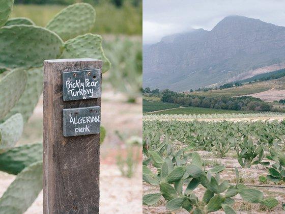 Prickly pear garden at Babylonstoren