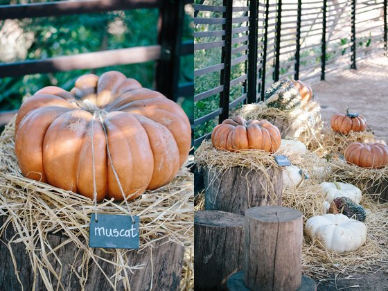 "Muscat Pumpkins displayed in the ""pofadder"" at Babylonstoren"