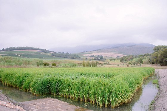 Beautiful rice field at Babylonstoren farm