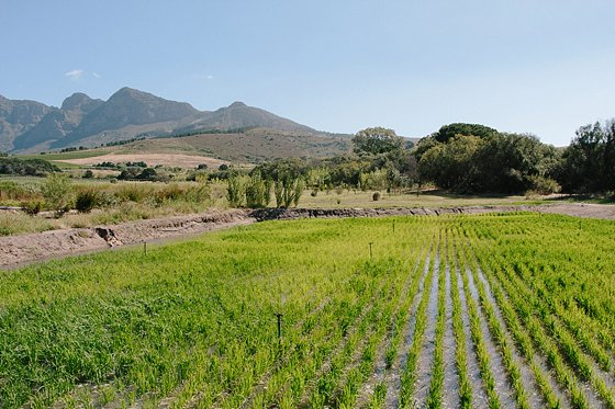 Rice field showing promise at Babylonstoren