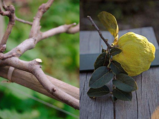 Pruning at Babylonstoren