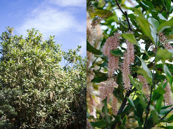 Macadamia flowers_0001