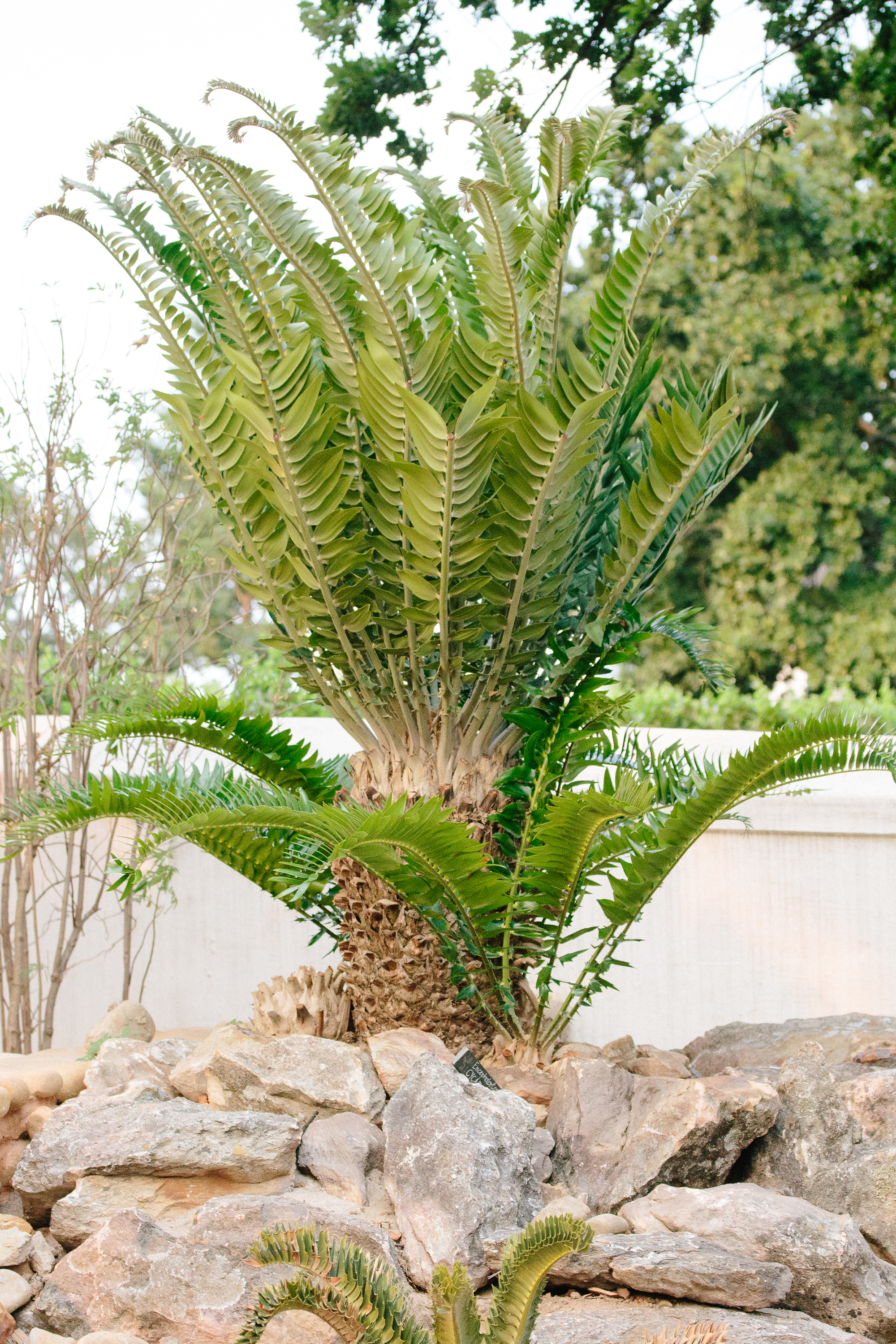 Encephalartos woodii or Wood's Cycad at Babylonstoren