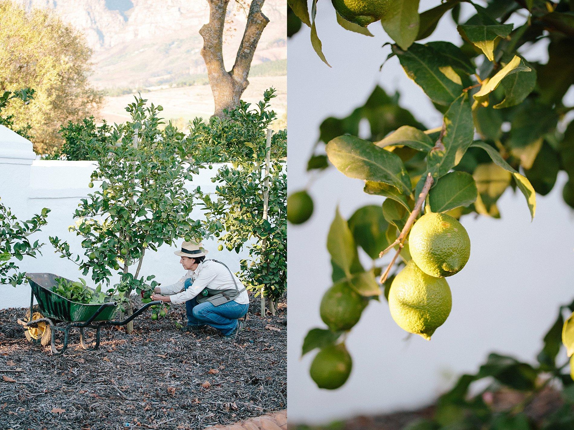 How to prune a lemon tree 0003 for Lemon plant images