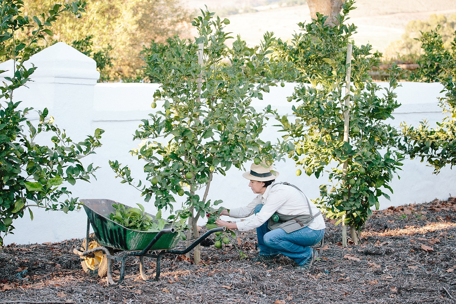 How to prune your lemon tree