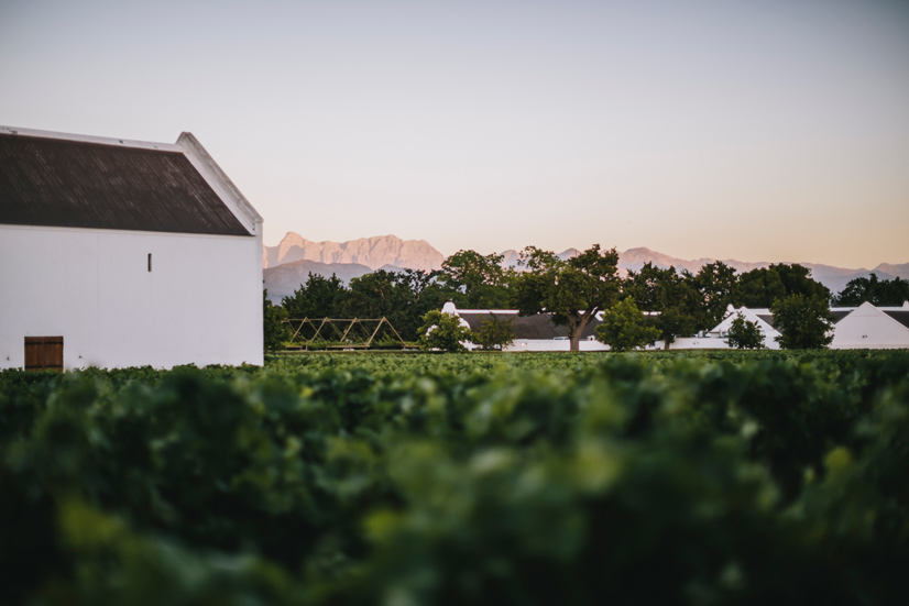 Vineyards at Babylonstoren