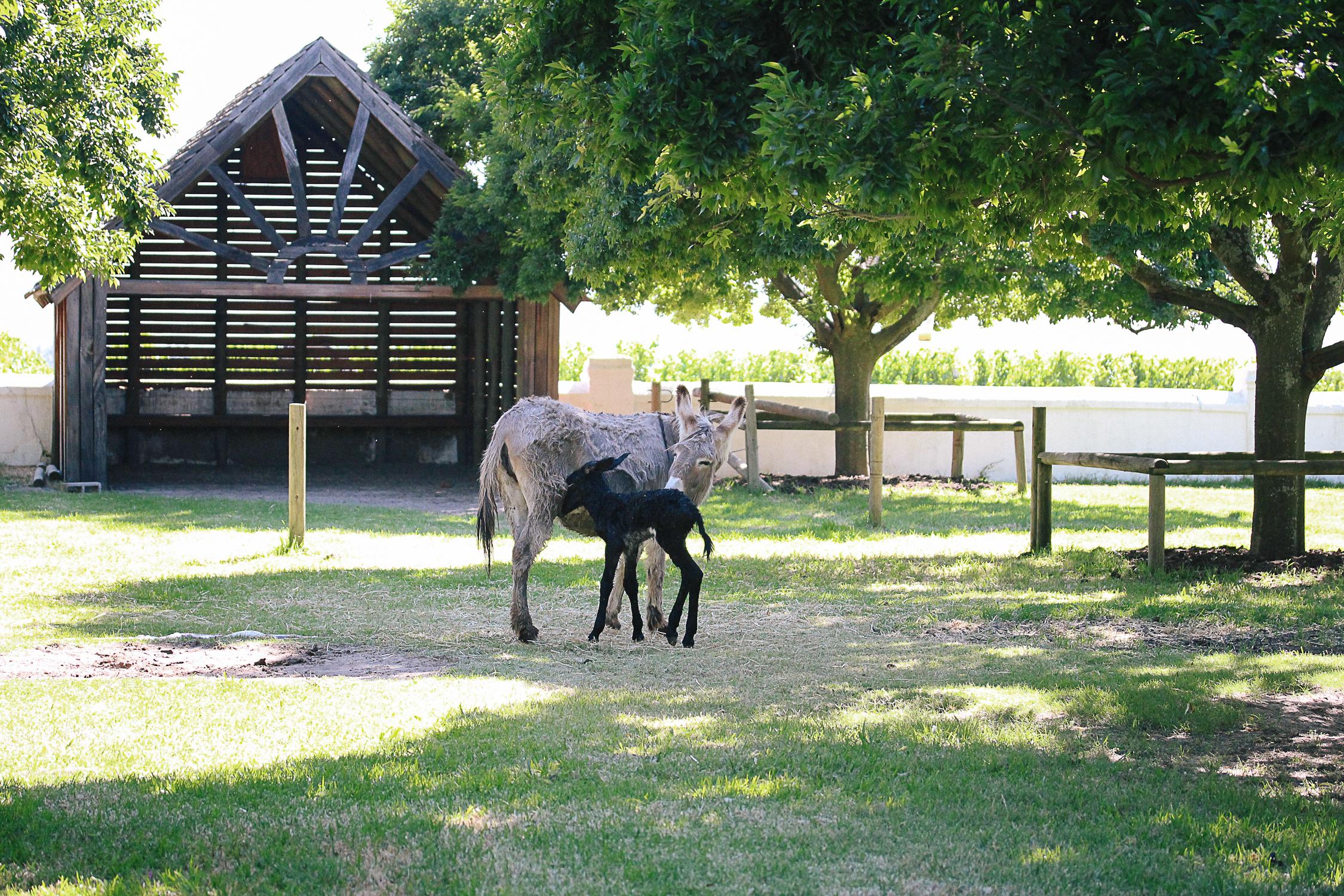 baby-donkey