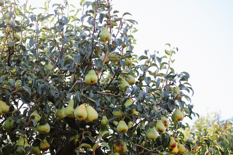 PEARS-on-a-tree