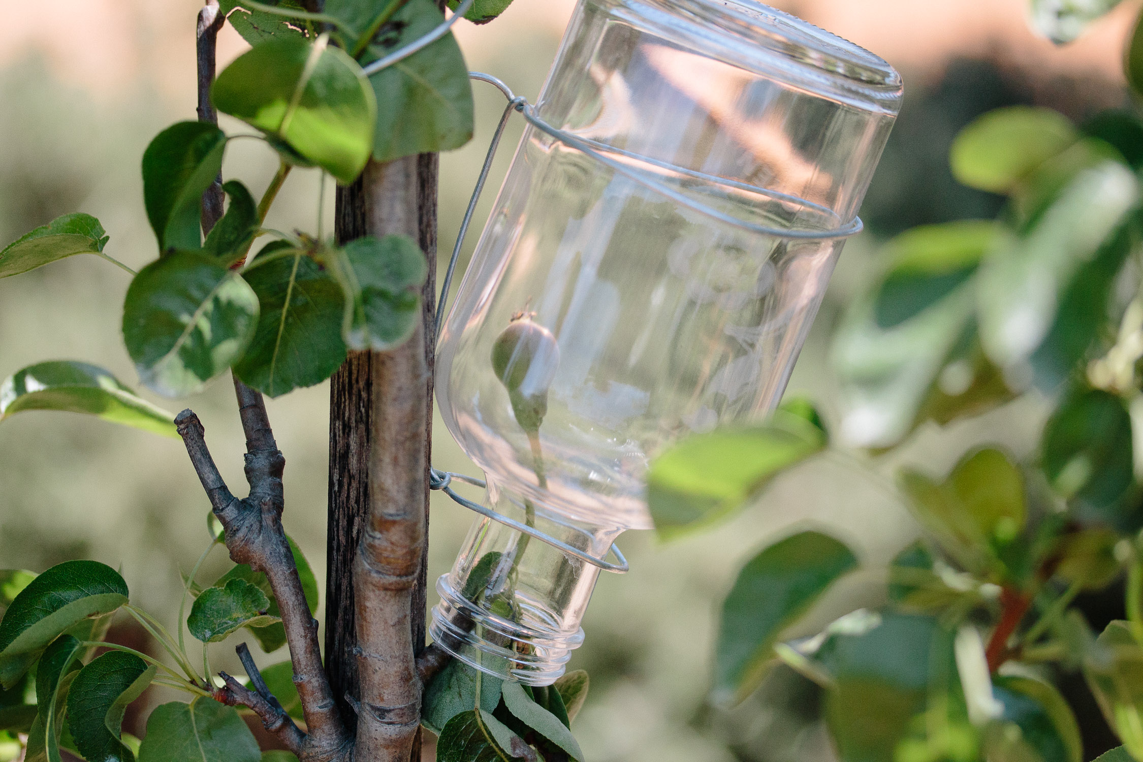 Growing Pears in a Bottle