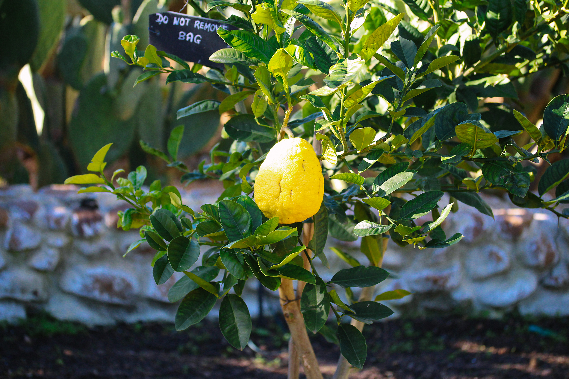 Rediscovering the citron