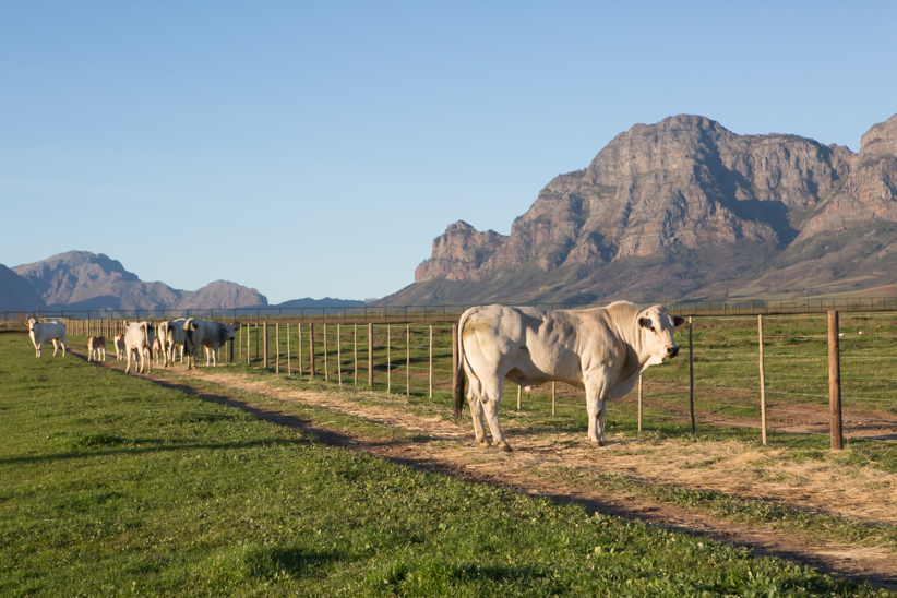 Chianina Cattle at Babylonstoren