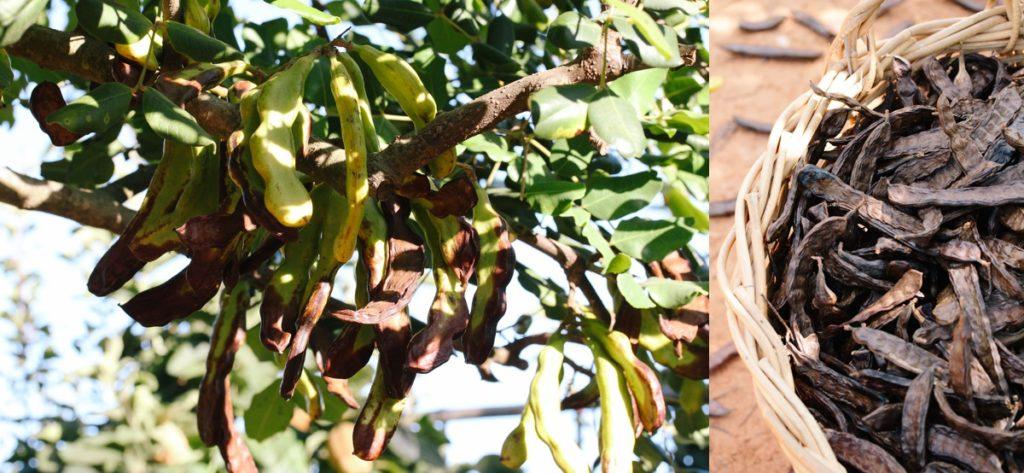 Carob Tree Seeds