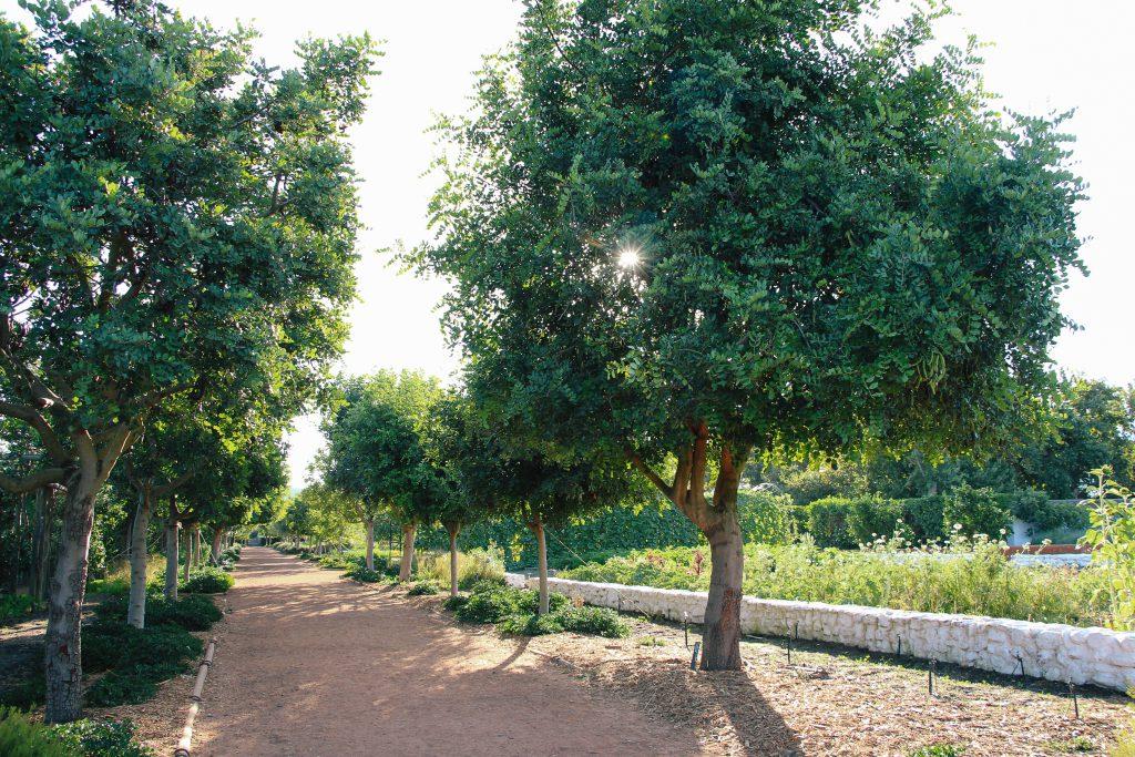 Carob Tree in Babylonstoren