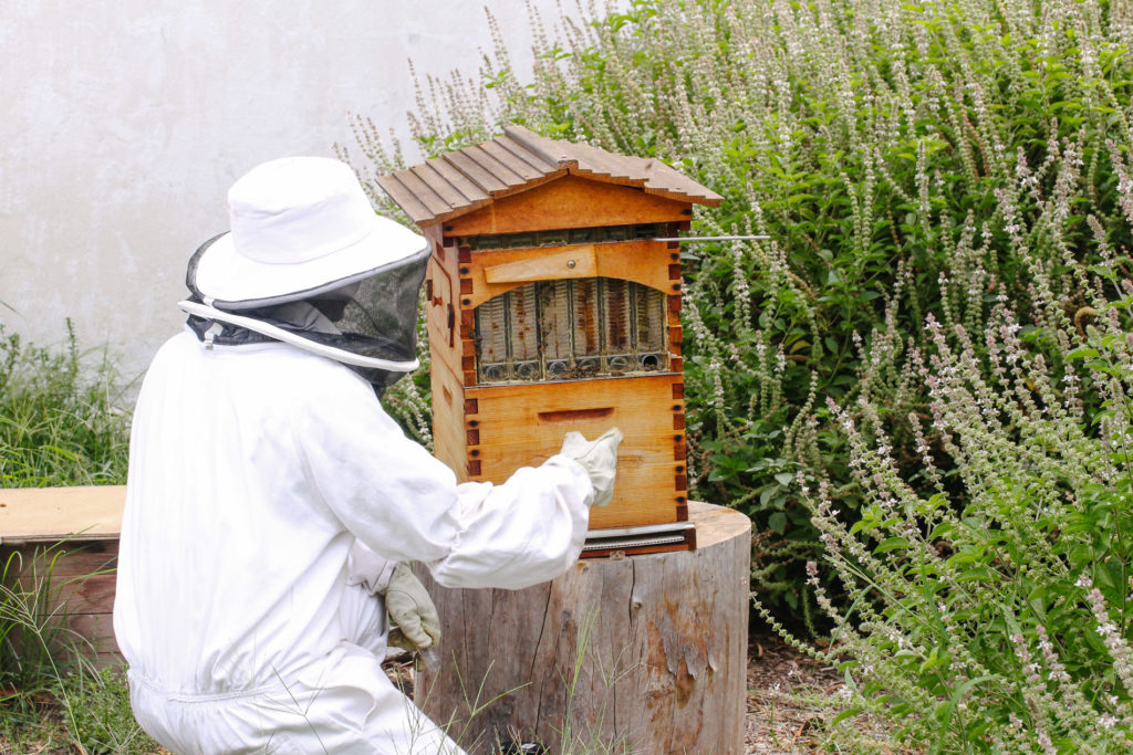 Inspecting for honey at the hive