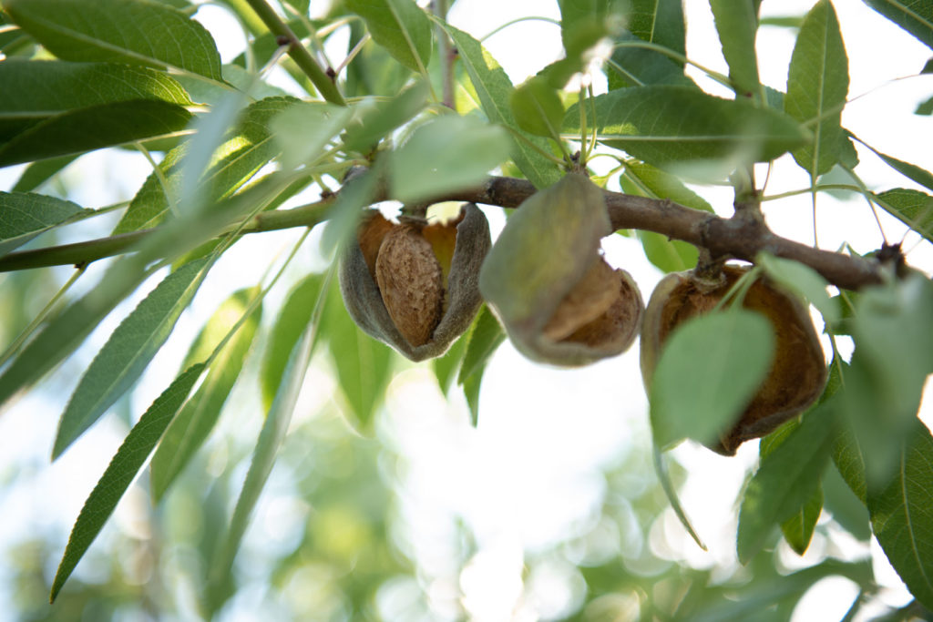 Nuts hanging of a branch at Babylonstoren