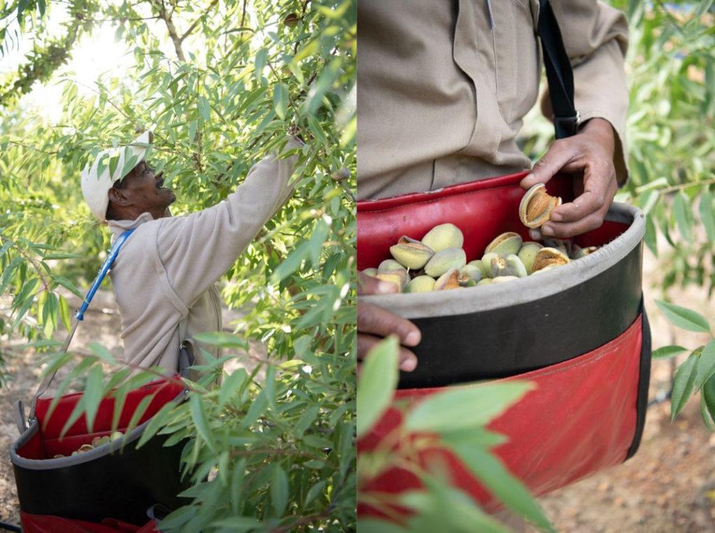 Harvesting almonds