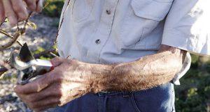 Anton Roux pruning at Babylonstoren