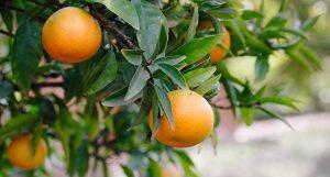 Hanging Citrus Tree at Babylonstoren
