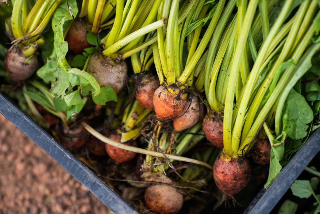 Freshly harvested yellow beetroot
