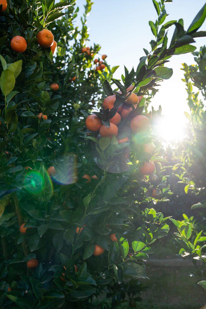 Mandarins or naartjies growing at Babylonstoren
