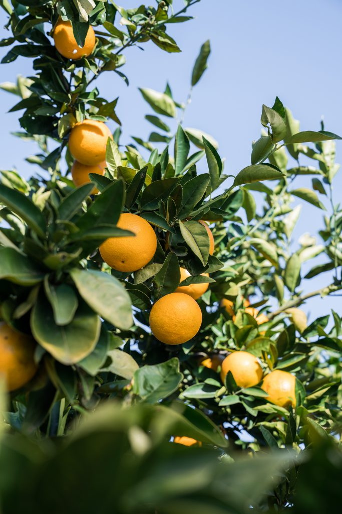 Valencia oranges in season at Babylonstoren