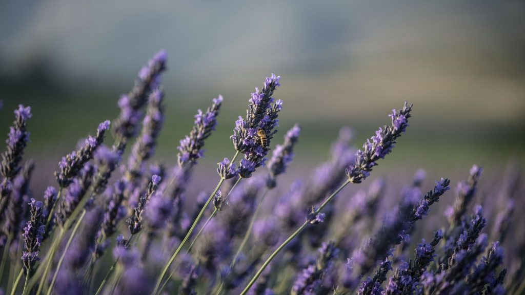 purple-reign-lavender-fields-at-babylonstoren-cape-winelands-south-africa-lavender-products-lavender-essential-oils-wellness-slow-living