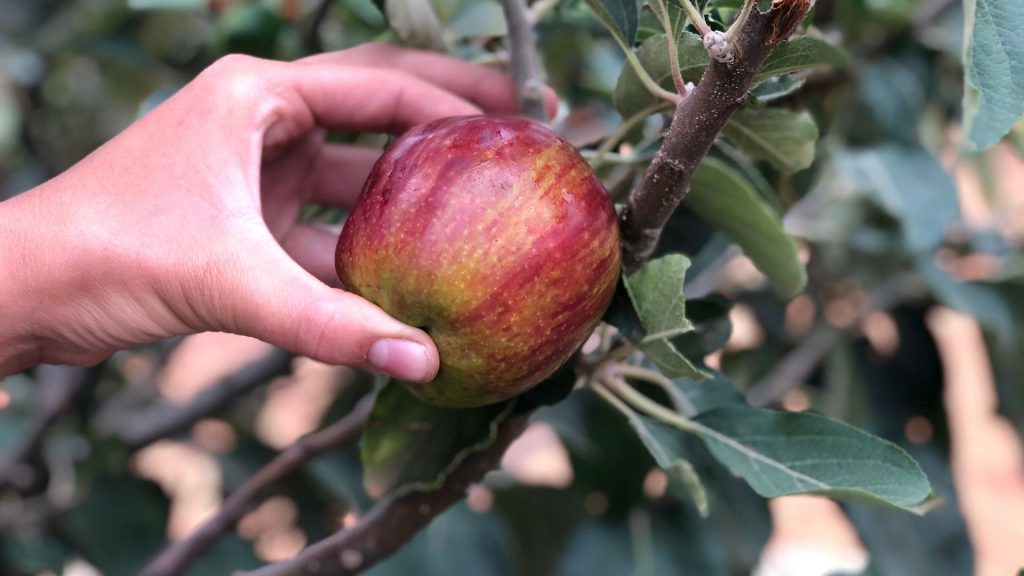 history-of-apples-isaac-newton-apple-flower-of-kent-learn-more-about-apples-a-very-a-peel-ing-history-farm-to-table-apples-apple-picking-franschhoek-cape-winelands-vegetable-garden
