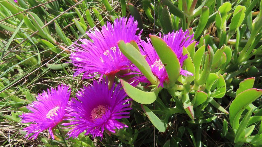 sour-figs-hottentot-fig-carpobrotus-succulent-gardening-garden-babylonstoren-cape-winelands-south-africa