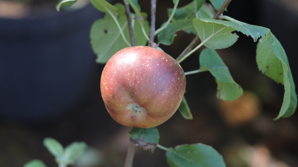history-of-apples-isaac-newton-apple-flower-of-kent-learn-more-about-apples-a-very-a-peel-ing-history-farm-to-table-apples-apple-picking-franschhoek-cape-winelands-vegetable-garden-gardening-kroonappel-aagtappel