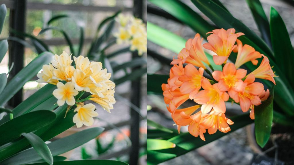 the-clivias-at-babylonstoren-babylonstoren-garden-how-we-grow-repot-and-divided-clivias-clivias-collection-clivia-miniata-gardening-garden-inspiration