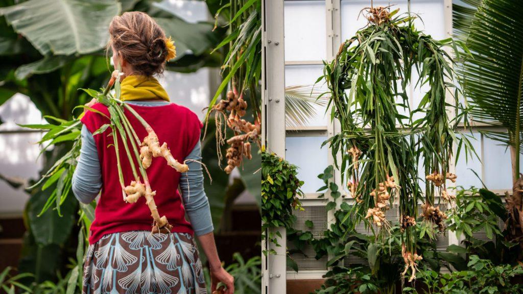 babylonstoren-tropical-spice-house-plants-ginger-plant-garden-life-gardening-all-fired-up-for-ginger-rhizome-flowering-plants