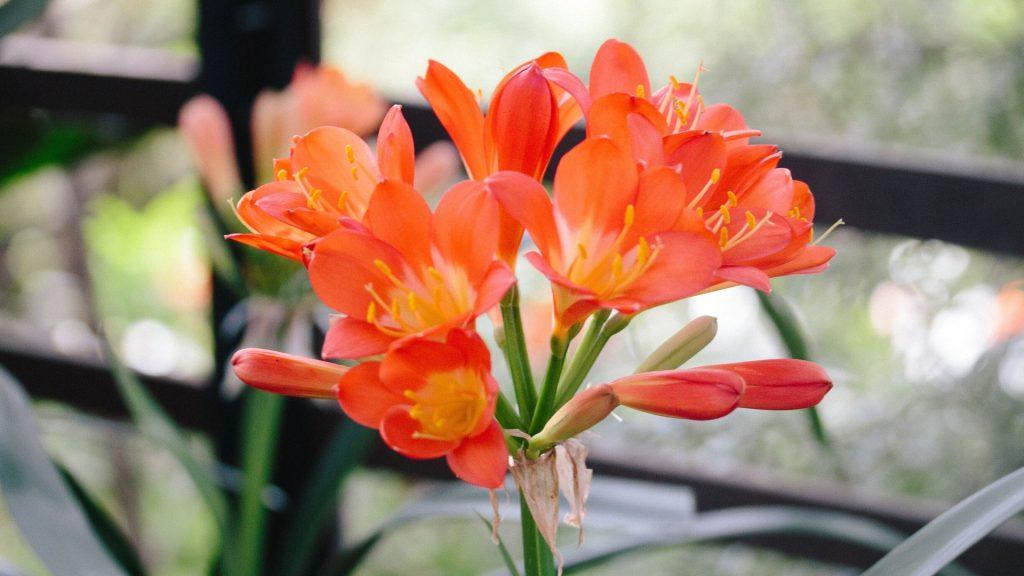 An-ode-to-the-Babylonstoren-Clivia-Kings-Babylonstoren-Blog-The-clivias-at-Babylonstoren-gardening-garden-inspiration-Babylonstoren-garden-clivia-season-spring-garden