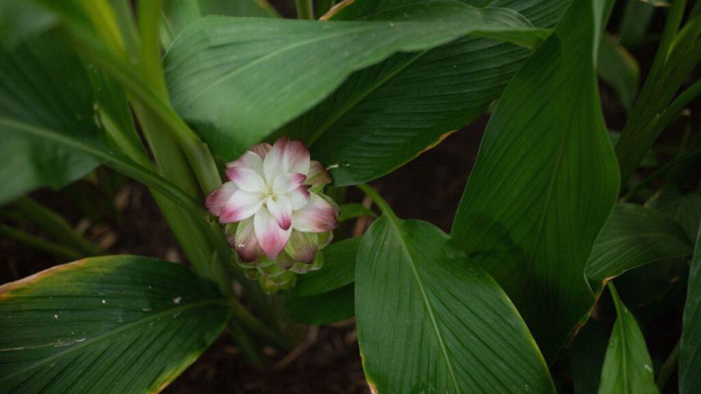 we've-got-a-taste-for-turmeric-at-babylonstoren-garden-blog-spice-house-greenhouse-gardening-farm-fresh-farm-to-fork-how-to-use-turmeric-growing-turmeric-rhizome-plants